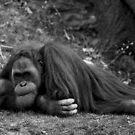 Orangutan #1: Boredom by Gregory Colvin