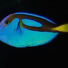 A Blue Tang by Anya  Cristina