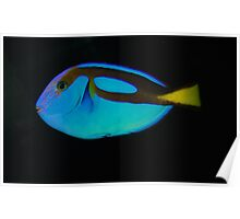 A Blue Tang Poster