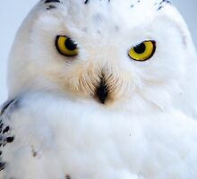 Snowy Owl by Dave  Knowles