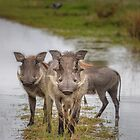 Warthog Island by Owed to Nature