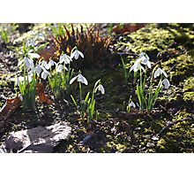 Group of Snowdrops Photographic Print
