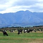 Cows, New Zealand by Emma Close