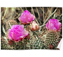 Prickly Pear Cactus Blooms Poster