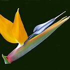 Bird Of Paradise by Memaa
