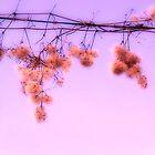 Fuchsia Dream by Nicolas  Hall