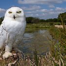 Owl with a view by Anthony Brewer