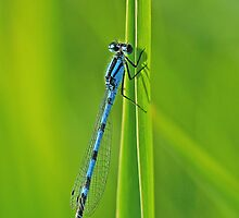 Bluet on Green by Bill Morgenstern