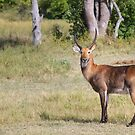 Lechebuck by Owed to Nature