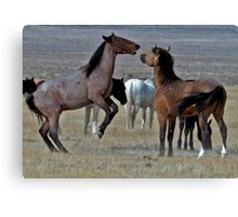 Playful Mustangs Canvas Print