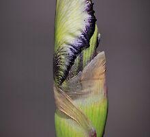 Donna's iris in waiting by SuzieCheree