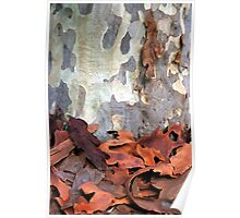 Spotted Gum Tree - Australia Poster