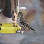 Pine Siskin at the feeder by aaronson24