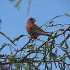 House Finch in the Mesquite Tree by aaronson24