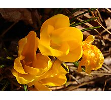 golden promise of spring Photographic Print