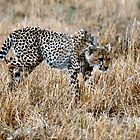 Cheetah on the prowl looking for food by Tom Marantette