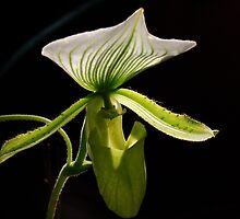 Slipper Orchid by Al Bourassa