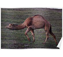 The California Camel Poster