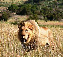 Lion In the Grass. by GRAEMEGM