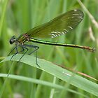 Female Banded Demoiselle by cappa