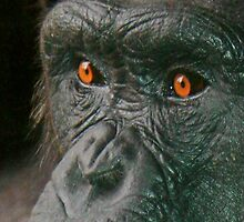 Chimp eyes by philipsmithart