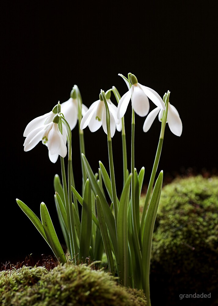 Snowdrop Flowers by grandaded