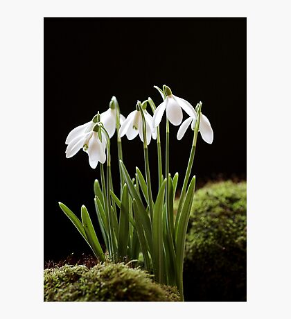 Snowdrop Flowers Photographic Print
