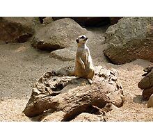 Photograph : Meercat ... on alert! Photographic Print