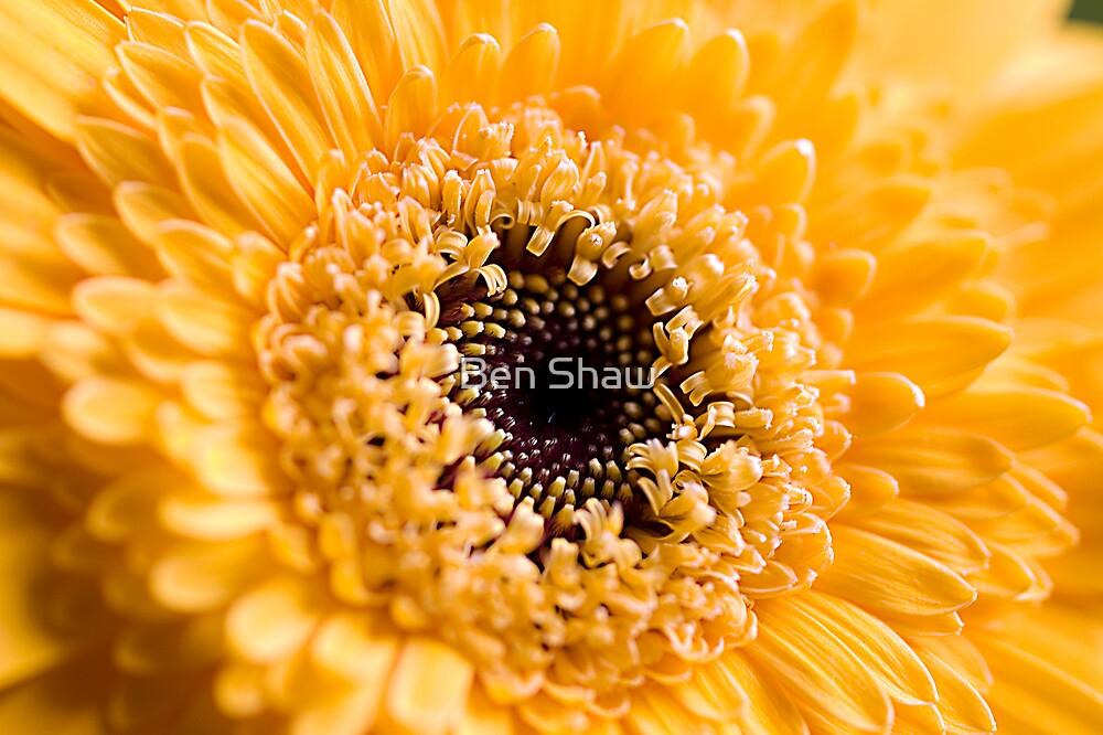 Yellow Gerbera by Ben Shaw