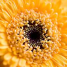 Yellow Gerbera by Ben Shaw