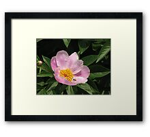 Korean National Flower with visitor Framed Print