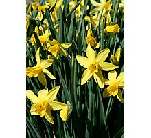 Yellow Daffodils Photographic Print