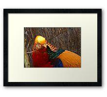 Bright & Beautiful - Golden Pheasant - NZ - Invercargill Framed Print