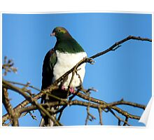 Handsome Wood Pigeon - New Zealand Poster