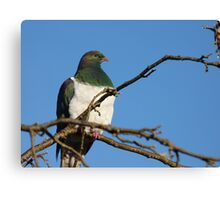 Who is there! - Wood Pigeon - New Zealand Canvas Print