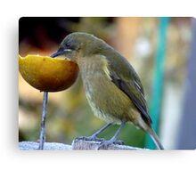 Slurping the Fruity Cocktail! - Bellbird - New Zealand Canvas Print