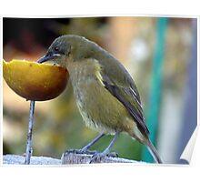 Slurping the Fruity Cocktail! - Bellbird - New Zealand Poster