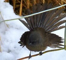 It's all white down there! - Fantail - NZ - Southland by AndreaEL