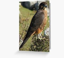 Falcon-Karearea - Endangered in New Zealand Greeting Card
