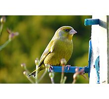 Relaxed Green Finch - New Zealand Photographic Print