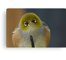 Don't even think about it! Silvereye - Wax Eye - New Zealand Canvas Print