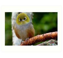 Are you QUESTIONING ME! - Silvereye - Wax Eye - New Zealand Art Print