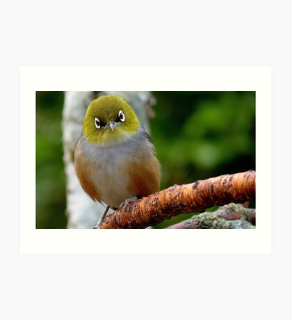 Are you QUESTIONING ME! - Silvereye - Wax Eye - New Zealand Art Print