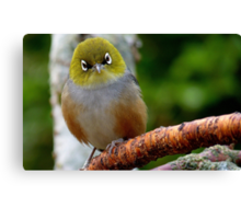 Are you QUESTIONING ME! - Silvereye - Wax Eye - New Zealand Canvas Print