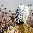 Snowy Owls by Jim Stiles
