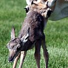 30 Minute Old Antelope by Judson Joyce