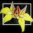 Cowslip Orchid by Eve Parry