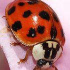 Ladybug by Debbie Sickler