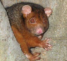 Possum by Kathy Helen Pike
