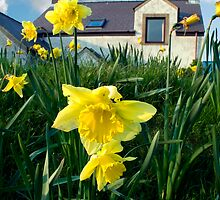 DAFFODILS AND COTTAGE by kfbphoto